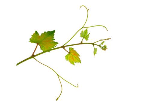 Grape「vine leaf」:スマホ壁紙(5)