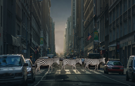 Digital Composite「Zebras crossing a street」:スマホ壁紙(1)