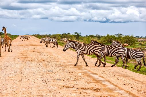 Giraffe「zebras crossing dirt road at wild」:スマホ壁紙(4)