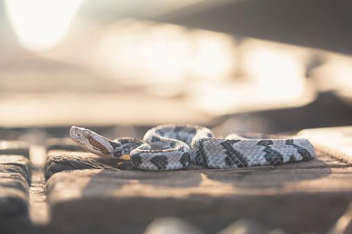 Railway「Timber rattlesnake basking on train tracks (Crotalus horridus), Florida, America, USA」:スマホ壁紙(17)