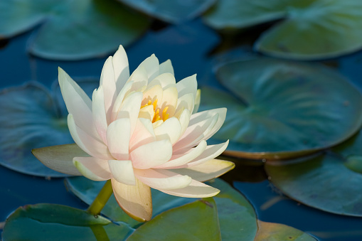 Water Lily「Blooming water lily amongst lily pads on a lake」:スマホ壁紙(16)