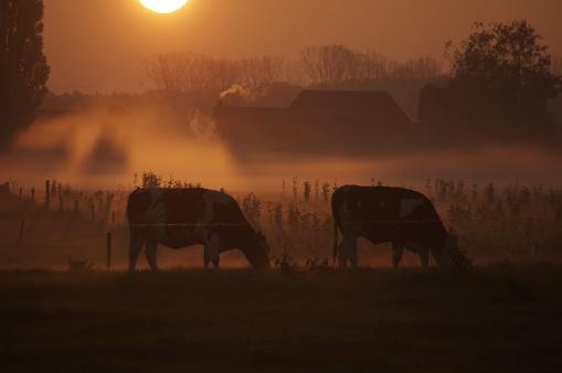 オランダ「早朝に牛」:スマホ壁紙(13)