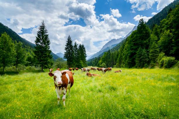 Cows in the Karwendel Mountains looking at camera:スマホ壁紙(壁紙.com)