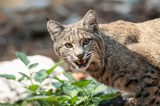 UNESCO「Bobcat (Lynx rufus) hunting in Yosemite National Park」:スマホ壁紙(5)