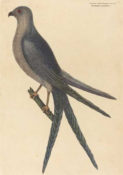 Perching「The Swallow Tail Hawk (Falco Furcatus)」:写真・画像(18)[壁紙.com]