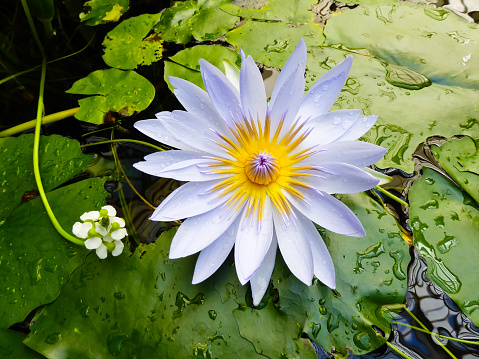 Water Lily「White lotus water lily lily pads in pond」:スマホ壁紙(7)