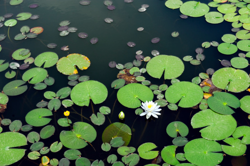 Water Lily「White lotus in the pond」:スマホ壁紙(5)
