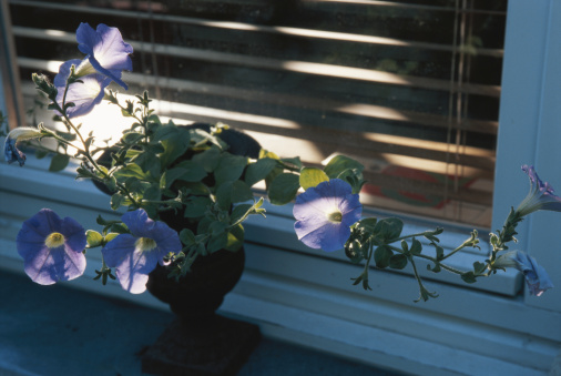 朝顔「Morning glories in pot plant by window」:スマホ壁紙(4)