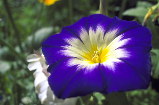 朝顔「morning glory ipomoea sp. close-up of flower aberbechan,newtown,wales」:スマホ壁紙(8)