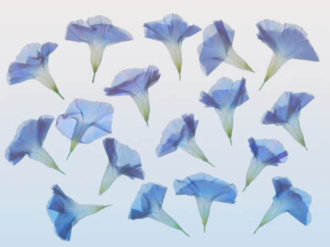 朝顔「Morning glory pattern (Ipomoea purpurea)」:スマホ壁紙(15)