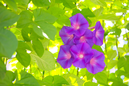朝顔「Morning glories, Kanagawa prefecture, Japan」:スマホ壁紙(3)