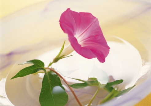 朝顔「Morning Glory Cut in Bowl, High Angle View, Close Up, Differential Focus, In Focus, Out Focus」:スマホ壁紙(6)