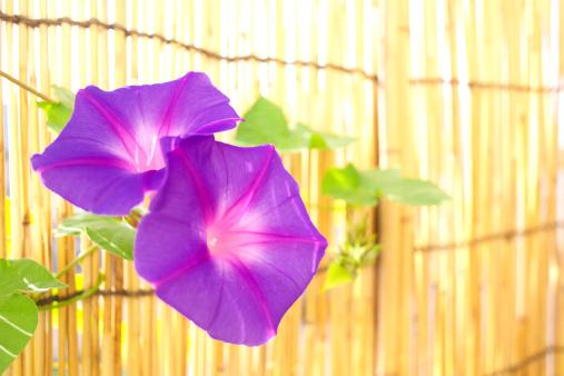 朝顔「Morning glories and bamboo blinds, close up, Kanagawa prefecture, Japan」:スマホ壁紙(15)