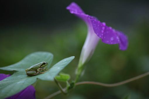 朝顔「Morning glory and tree frog」:スマホ壁紙(19)