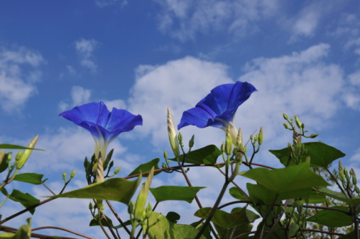 朝顔「Morning glories,  Chiba Prefecture, Honshu, Japan」:スマホ壁紙(6)