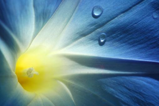 morning glory「morning glory, Ipomoea tricolor 'Heavenly Blue'」:スマホ壁紙(19)