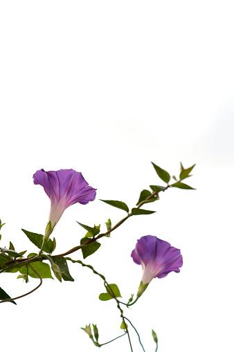 朝顔「Morning gloriy flowers」:スマホ壁紙(9)