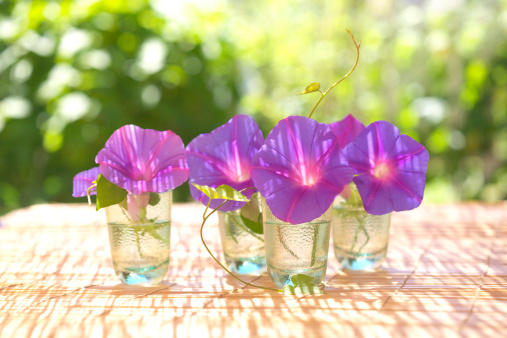 朝顔「Morning glories in glasses, differential focus, Kanagawa prefecture, Japan」:スマホ壁紙(12)