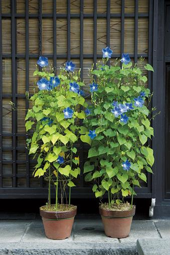 朝顔「Morning glory growing in flower pots」:スマホ壁紙(2)