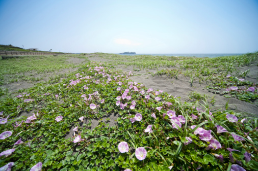 朝顔「Morning glory on beach」:スマホ壁紙(2)