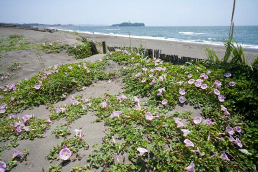 朝顔「Morning glory on beach」:スマホ壁紙(8)
