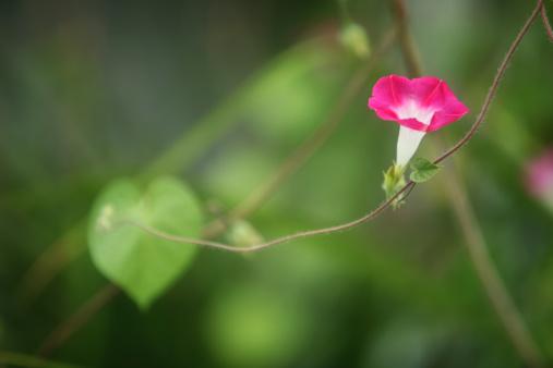 朝顔「Morning Glory flower on a vine.」:スマホ壁紙(18)