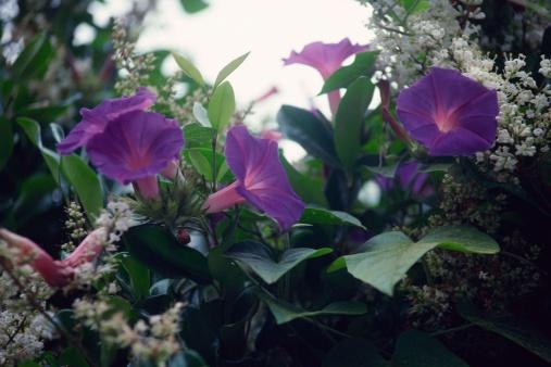 朝顔「Morning glories」:スマホ壁紙(14)