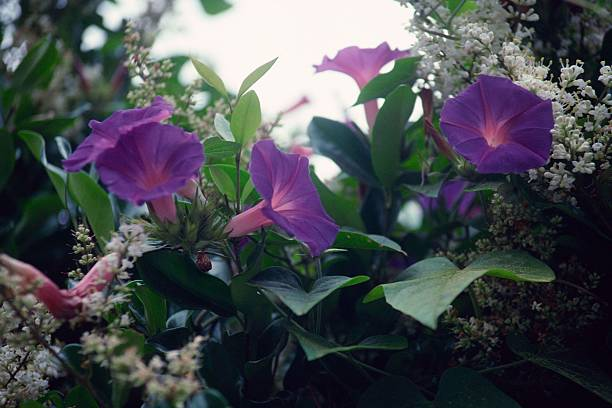 Morning glories:スマホ壁紙(壁紙.com)