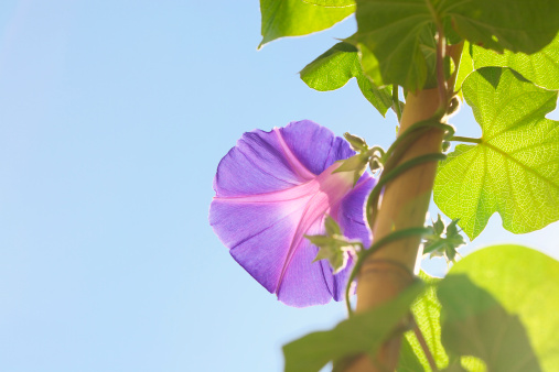 Morning Glory「Morning glory against sky, blue background, Kanagawa prefecture, Japan」:スマホ壁紙(14)