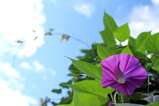 朝顔「Morning glory flower」:スマホ壁紙(17)