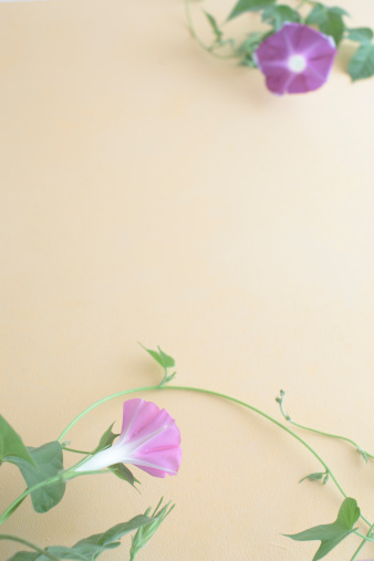 朝顔「Morning glories」:スマホ壁紙(3)