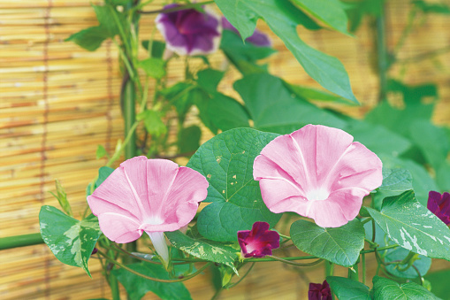 朝顔「Morning glory growing on a trellis」:スマホ壁紙(11)