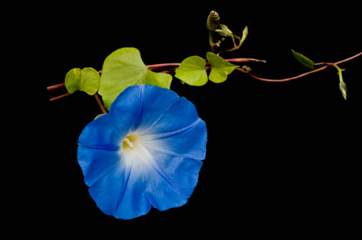 morning glory「Morning Glory (Ipomoea tricolor)」:スマホ壁紙(6)