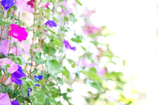 朝顔「Morning Glory Flowers」:スマホ壁紙(6)