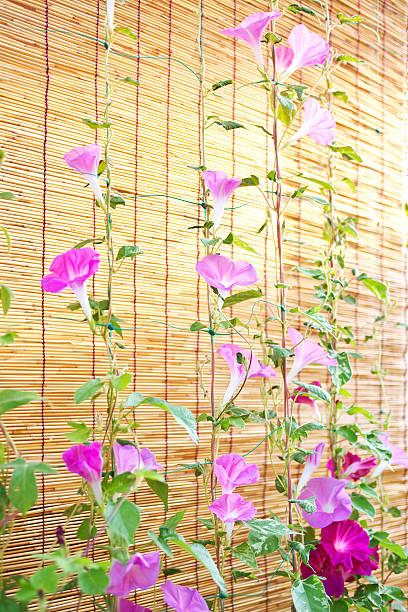 Morning Glory Flowers:スマホ壁紙(壁紙.com)