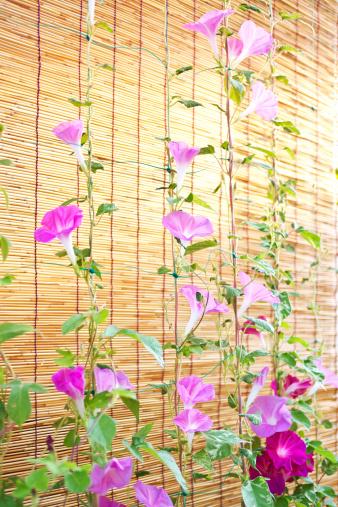 朝顔「Morning Glory Flowers」:スマホ壁紙(10)