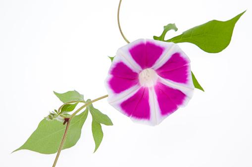 朝顔「Morning Glory Flowers」:スマホ壁紙(1)