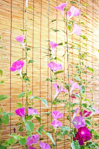 朝顔「Morning Glory Flowers」:スマホ壁紙(4)
