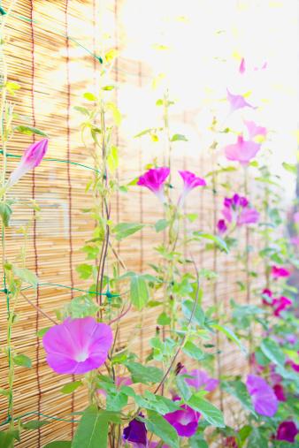 朝顔「Morning Glory Flowers」:スマホ壁紙(11)