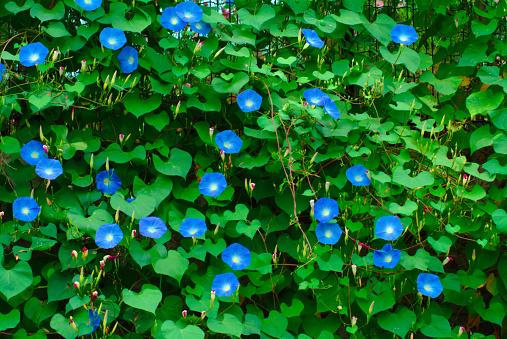 朝顔「Morning glory flowers」:スマホ壁紙(0)