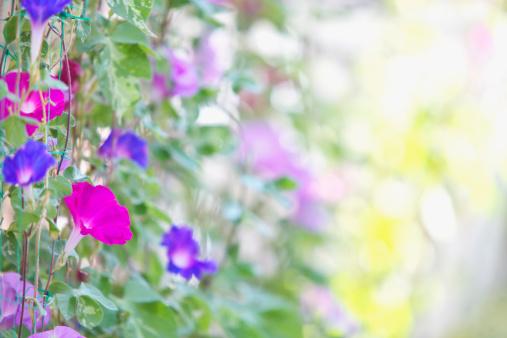 朝顔「Morning Glory Flowers」:スマホ壁紙(12)