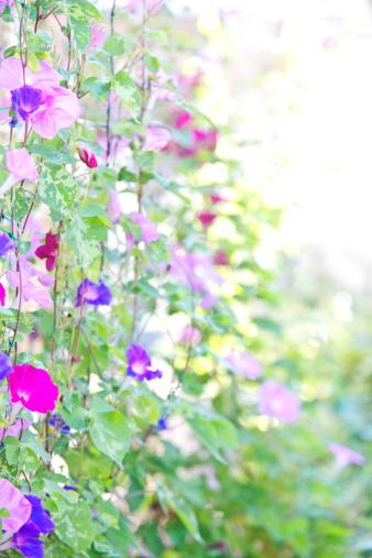 朝顔「Morning Glory Flowers」:スマホ壁紙(8)