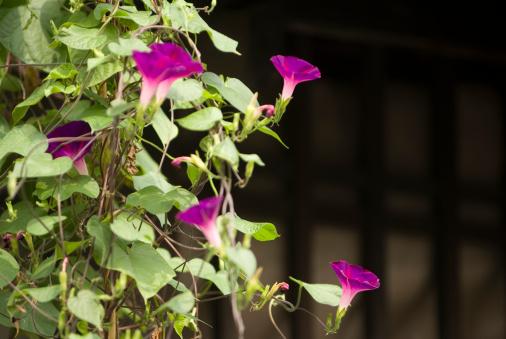 朝顔「Morning glory flowers」:スマホ壁紙(18)