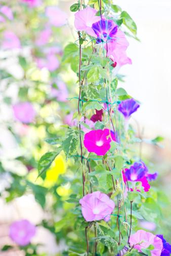 朝顔「Morning Glory Flowers」:スマホ壁紙(17)