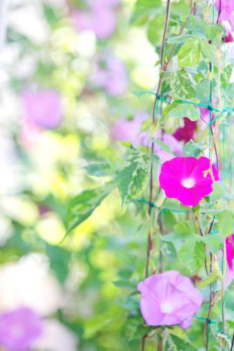 アサガオ「Morning Glory Flowers」:スマホ壁紙(12)