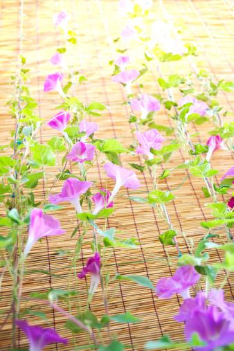 アサガオ「Morning Glory Flowers」:スマホ壁紙(7)
