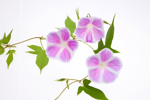 朝顔「Morning Glory Flowers」:スマホ壁紙(16)