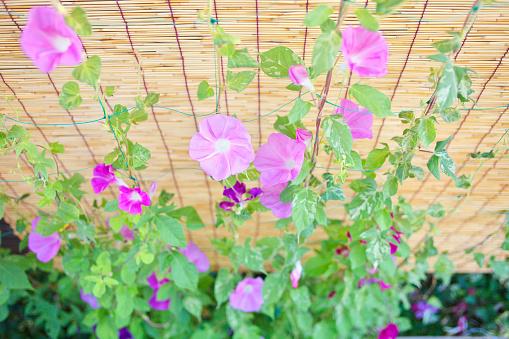 朝顔「Morning Glory Flowers」:スマホ壁紙(3)