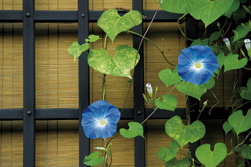 朝顔「Morning glory, Takayama city, Gifu prefecture, Japan」:スマホ壁紙(19)