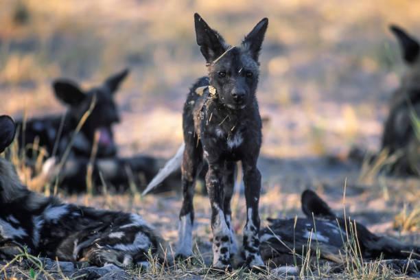 African wild dog, Moremi Game Reserve:スマホ壁紙(壁紙.com)